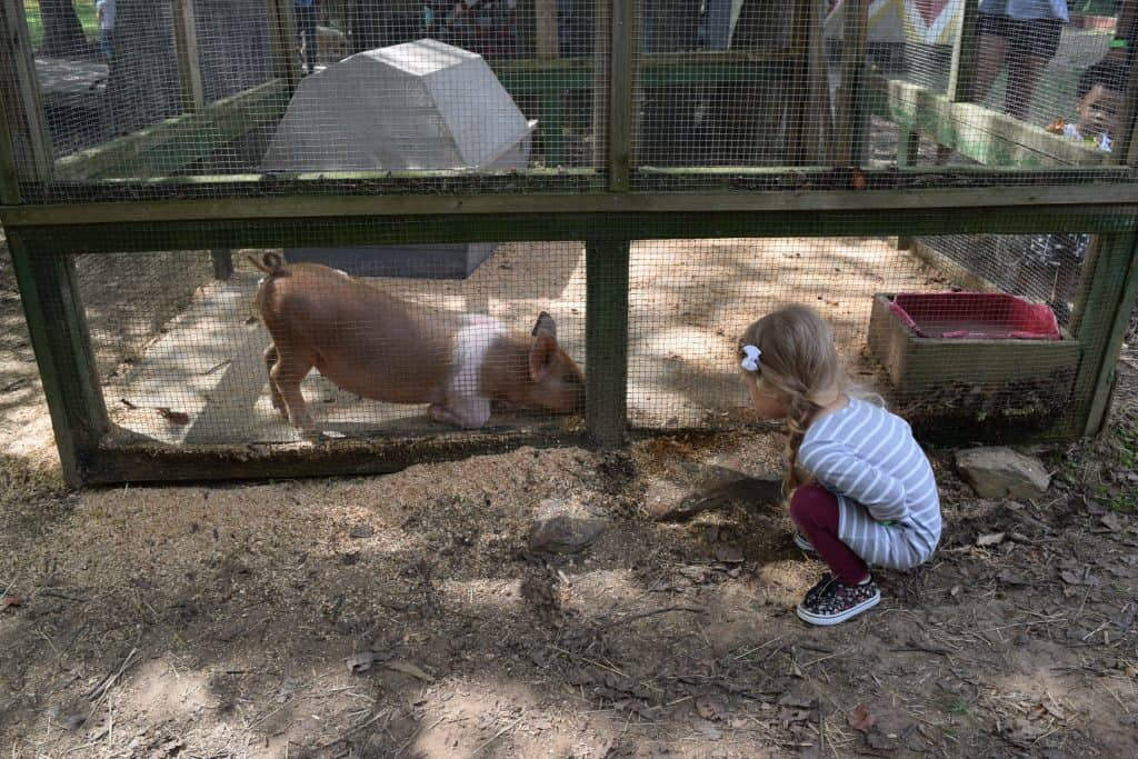 A girl watching a pig at a farm.