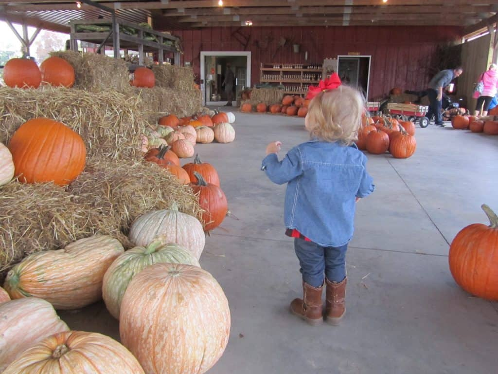A toddler looking at pumpkins at the pumpkin patch.